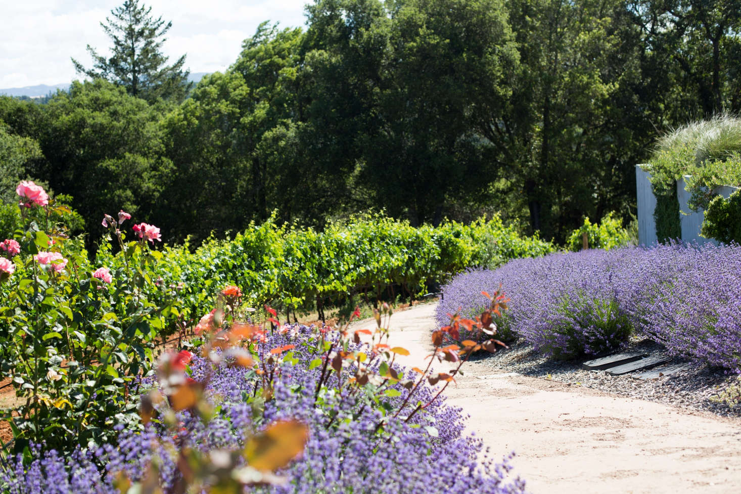 Lavender borders a path of decomposed granite. Photograph by Mimi Giboin. For more, see Landscape Architect Visit: Vineyard Views in Healdsburg&#8