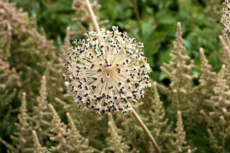 In the Chelsea Grasslands garden, Mount Everest Persian onion has been allowed to go to seed.
