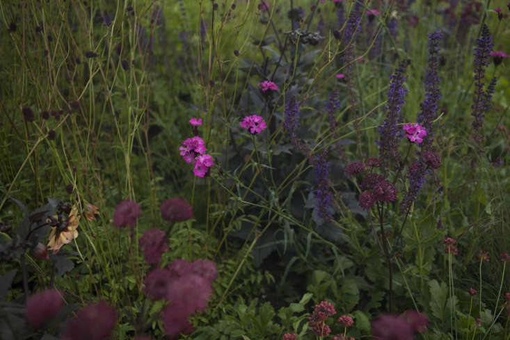 Black stalks against green foliage: dahlia and salvia mingle with the dark branching stems of Astrantia &#8