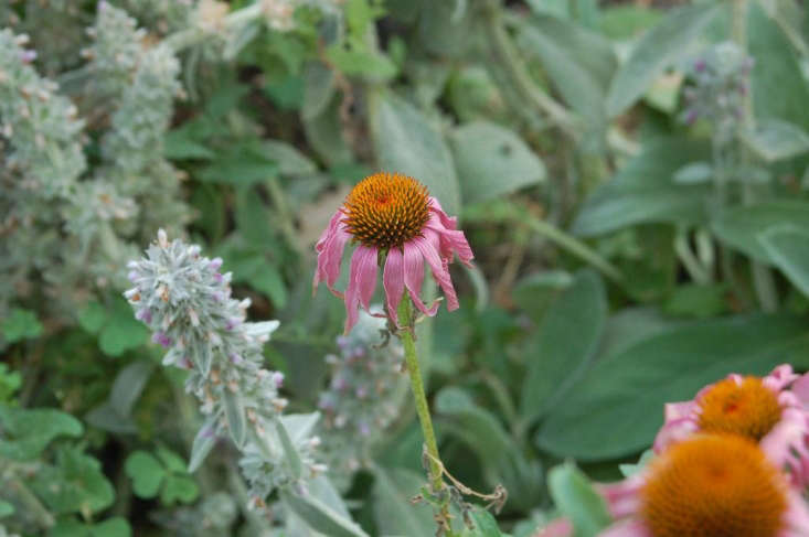 Lamb&#8\2\17;s ears with coneflowers. Photograph by Wht Wolf9653 via Flickr.