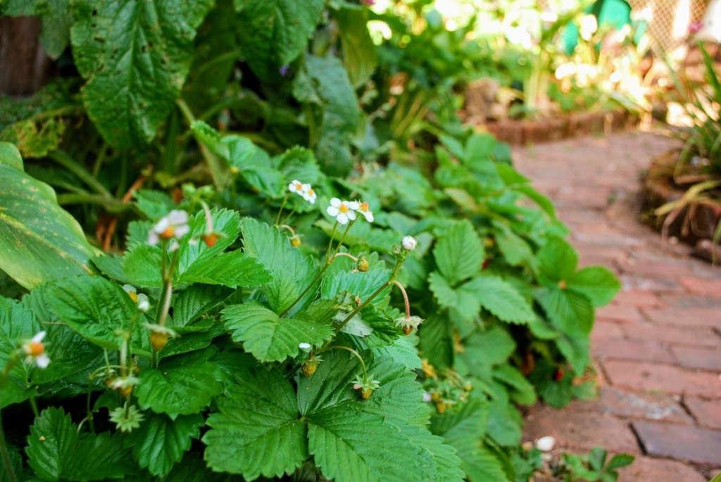 Alpine Strawberries