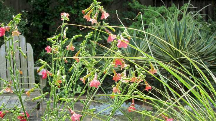 Miscanthus mixes well with flowering perennials Nicotiana &#8