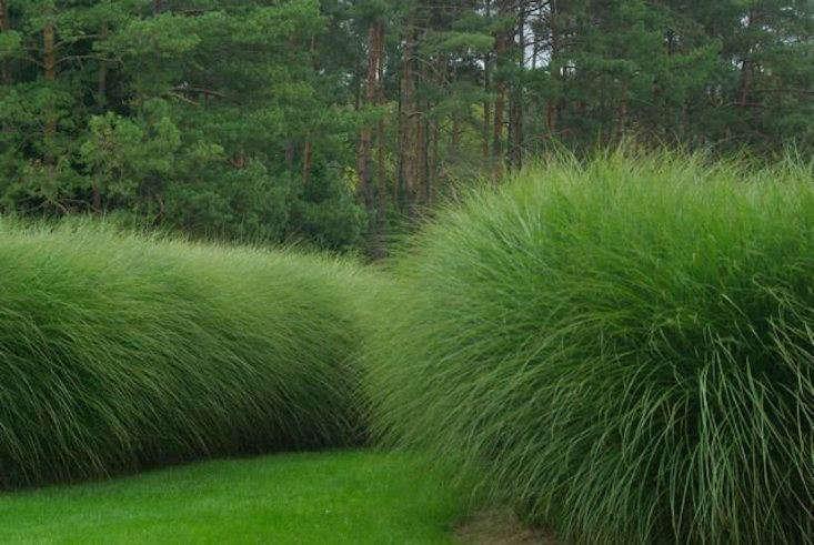Maiden grass magic: Miscanthus sinensis 'Morning Light'. Photograph via The Lost World Nursery.