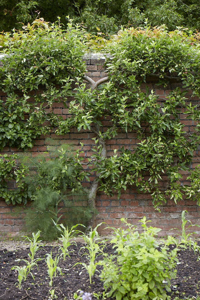 The warm brick walls are a perfect spot to train espaliered fruit trees.