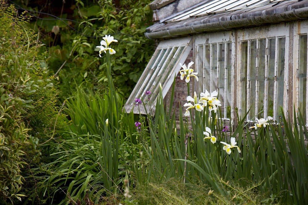 Irises bloom beside glass houses in Wales. For more of this garden, seeWalled Gardens: An Organic and Picturesque Plot at Old-Lands in Wales.