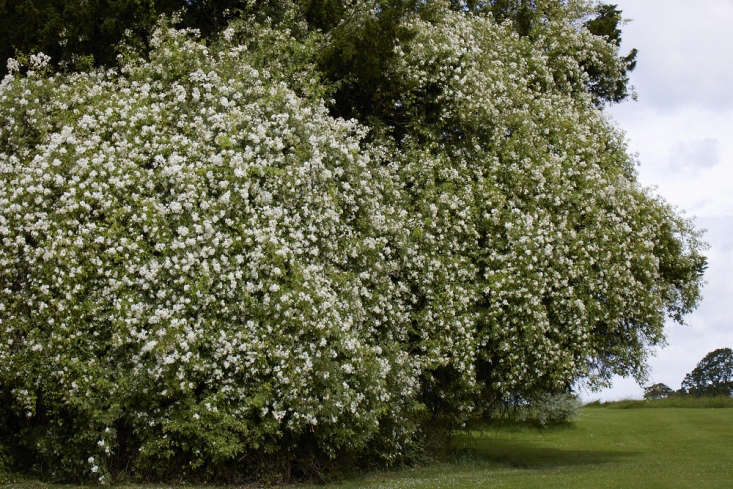 Awhite rose, given as a wedding gift in the \1970s, now clambers high up into trees.