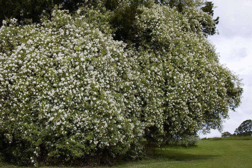 Awhite rose, given as a wedding gift in the 70s, now clambers high up into trees.