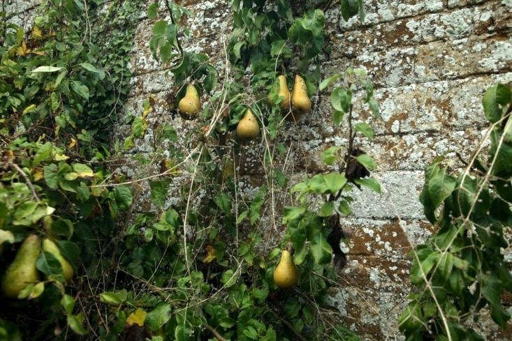 Autumn &#8\2\16;Conference&#8\2\17; pears in Northamptonshire.