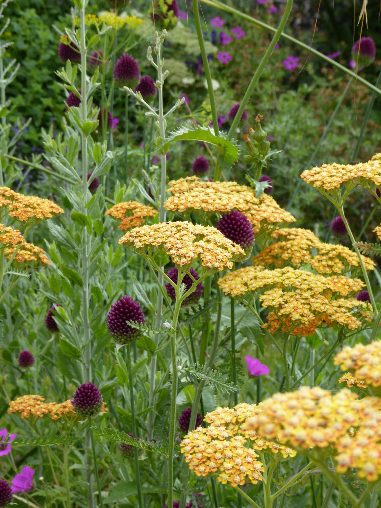 Achillea Terracotta and Allium spaerocephalon add dashes of apricot and deep plum to an area where there are many shades of blue and purple.