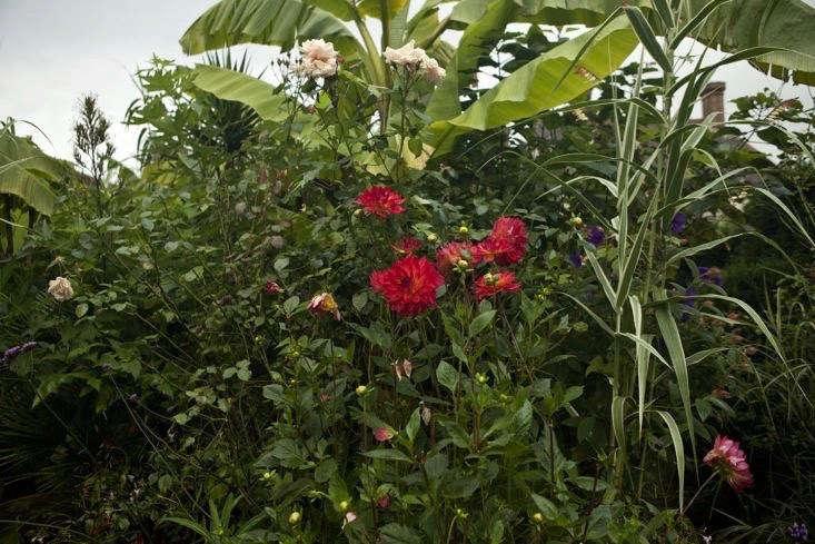 Dahlia &#8\2\16;Kilburn Glow&#8\2\17; growing with banana trees at Great Dixter.