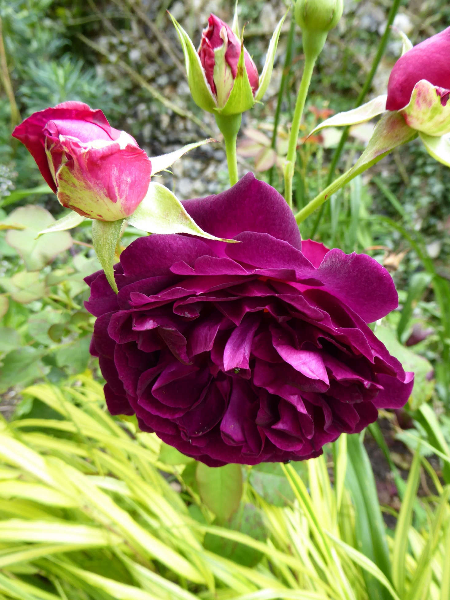 Munstead Wood is one of Catherine's many roses.