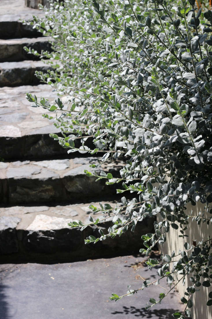 A planting of Salix argenteadrapes over a wall, echoing the grey stone of the steps.