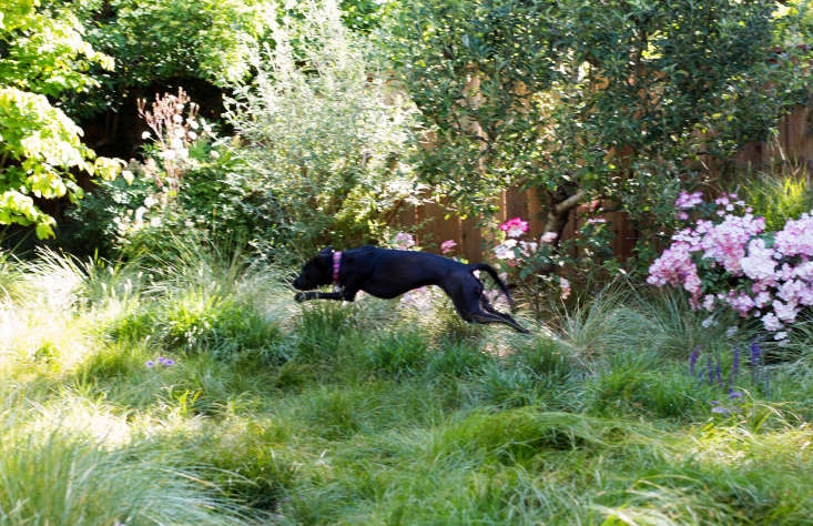 Georgia loves to run laps around the backyard whereGreenlee and Coates chose meadow grasses, including Carex pansa, Festuca mairei, and clumps of Sesleria autumnalis &#8\2\16;Greenlee&#8\2\17;. (Greenlee discovered the hybrid growing in his nursery in Pomona, California.)