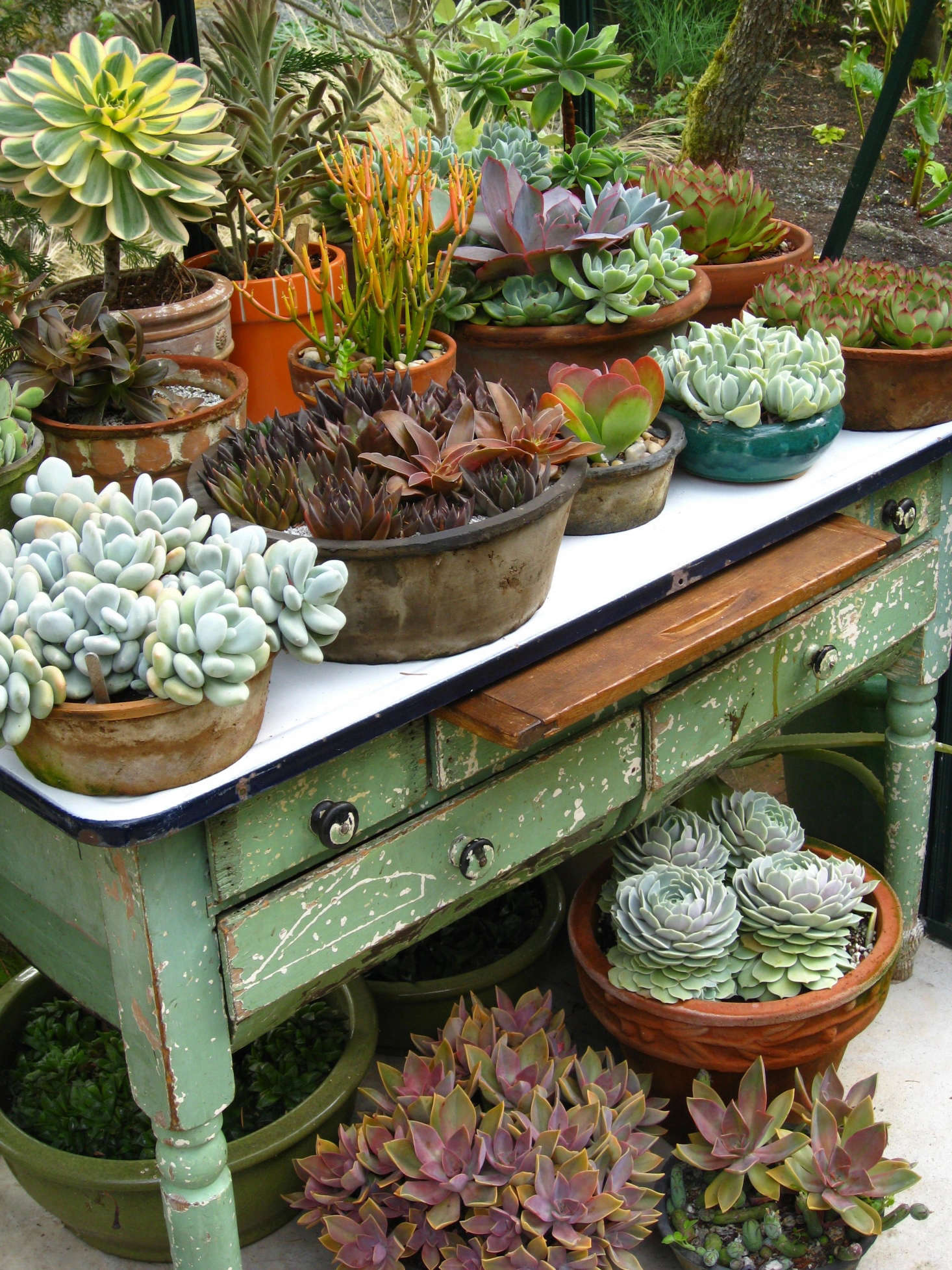 An old enamel-topped table in the greenhouse offers a practical and prettysetting for a collection of succulents.
