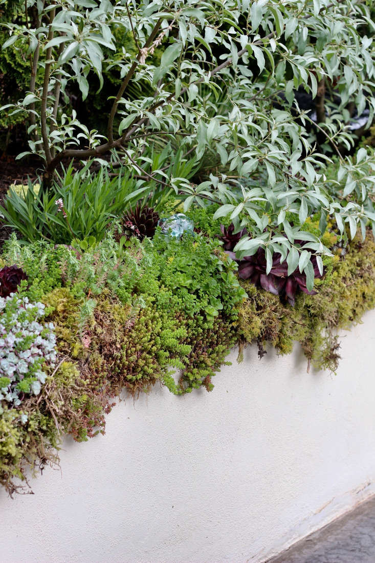 Above: The retaining walls have been softened with plantings of succulents in moss. Here, Eleganus &#8\2\16;Quicksilver&#8\2\17; arches over Sepervivums and Sedums.