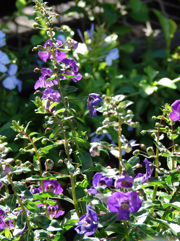 Angelonia angustifolia, spotted at a plant nursery on Maui. Photograph by Forest and Kim Starr via Flickr.