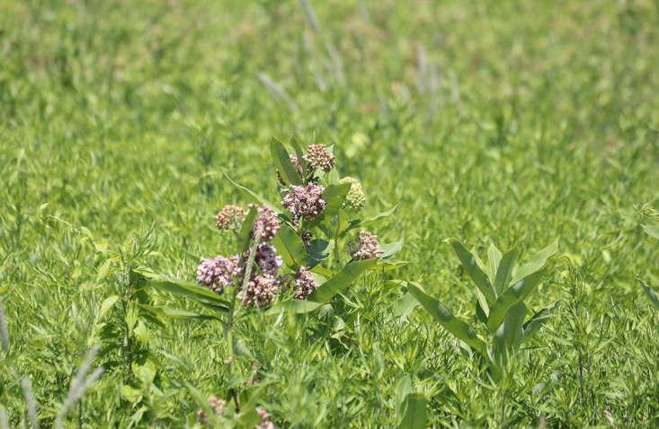 Common milkweed in a field by Marie Viljoen