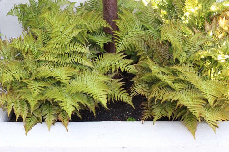 Autumn fern, Dryopteris erythrosora, harmonizing with Acer griseum.