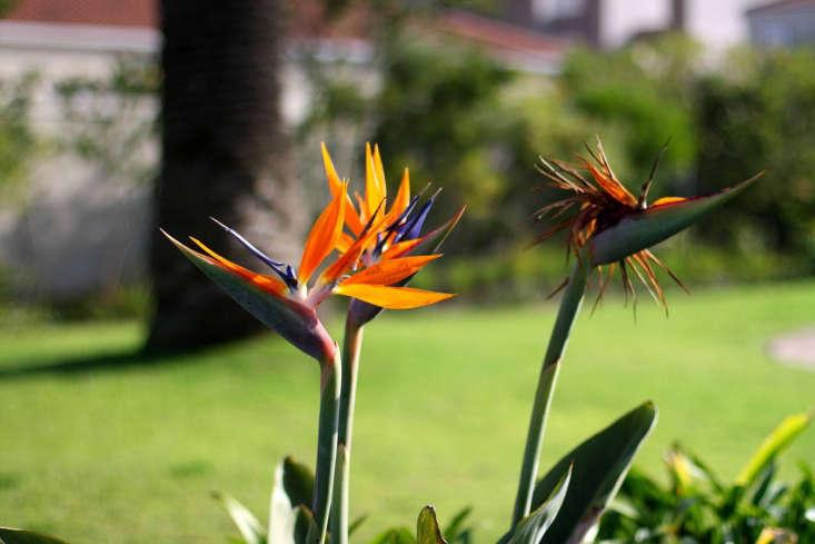 The bird of paradise variety Strelitzia reginae. Photograph by Warrenski via Flickr.
