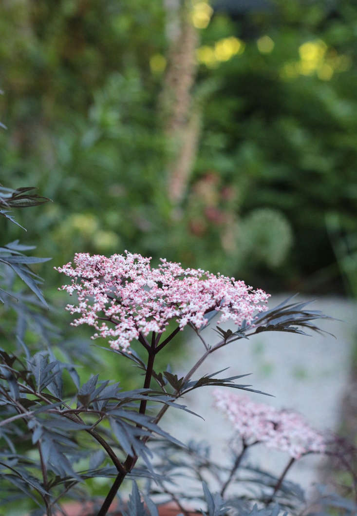 The dark purple and lacy leaves of Sambucus nigra &#8\2\16;Black Lace&#8\2\17; have the added benefit of showy foliage.