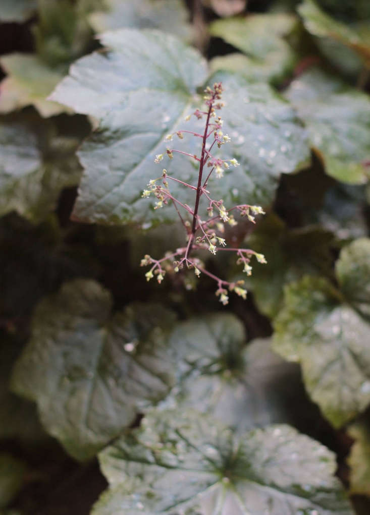 When I first viewed this apartment, I noticed a chocolate-colored heuchera (also known as coral bells) growing defiantly from a crack in the poured concrete in the backyard. It was late summer and the place was parched. As much as the barren concrete depressed me, the heuchera seemed to be sending a message of hope: If I can do it, you can do it. It still flourishes there, and has set seed to germinate in other cracks. The effect is a softening one.