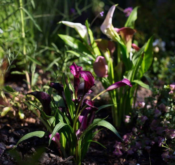 In the garden, calla lilies require good drainage and regular water.