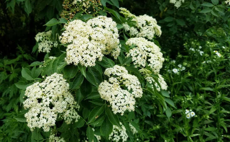 While they love consistent moisture and will grow near water sources, elders are forgiving of drier soils, too. Plant your elder shrub in full sun or semi shade.