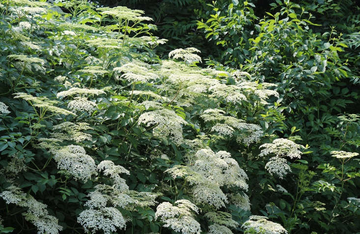 While there are several species of Sambucus, the most widely distributed is common elderberry, which is now considered a subspecies of European elderberry and classified as Sambucus nigra ssp.canadensis.
