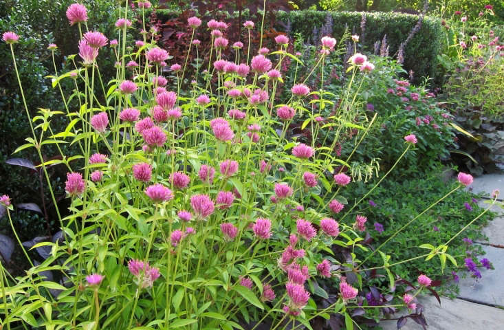Gomphrena &#8\2\16;Fireworks&#8\2\17; in bloom in an August border in the Conservatory Garden in Central Park, New York. Photograph by Cultivar 4\13 via Flickr.