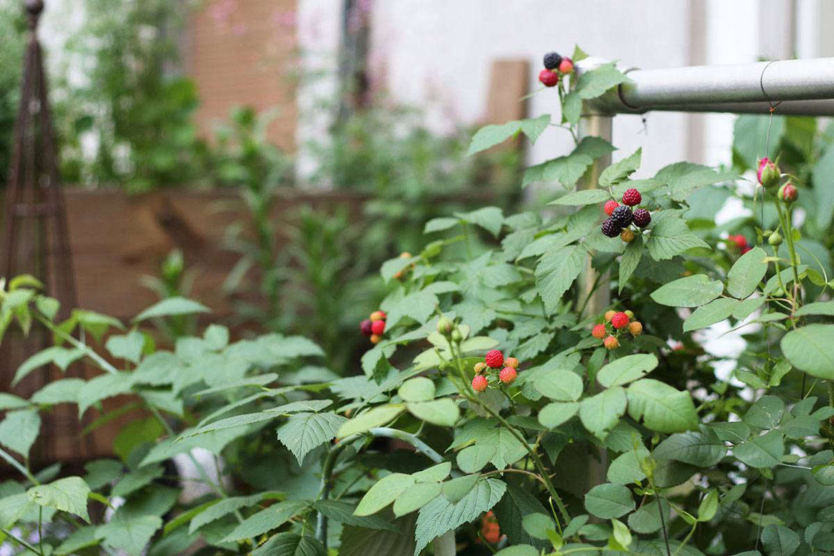 Black raspberries are relatively tolerant of shade, making them a useful fruit for gardens or terraces with fluctuating sun. I have grown them in as little as four hours of direct sun at the height of summer (seen here on our Harlem terrace).