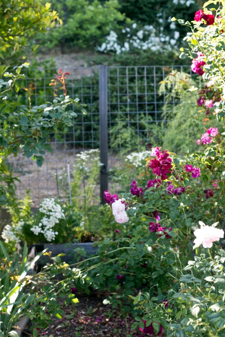 Inside the fence, shrub and climbing roses contribute to the chaos.