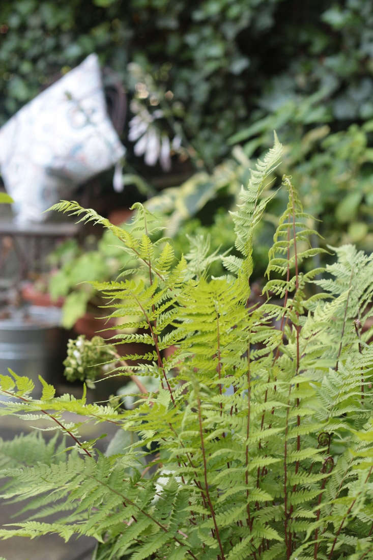 I spend as much time as I can in the woods, and I love ferns. Indigenous lady fern (Athyrium angustum forma rubellum &#8
