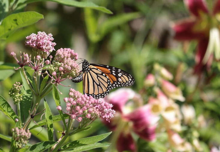 Milkweed for monarchs. Photograph by Marie Viljoen.