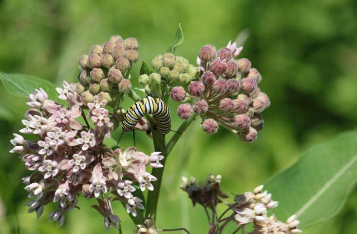 A monarch caterpillar feasting on milkweed blooms.