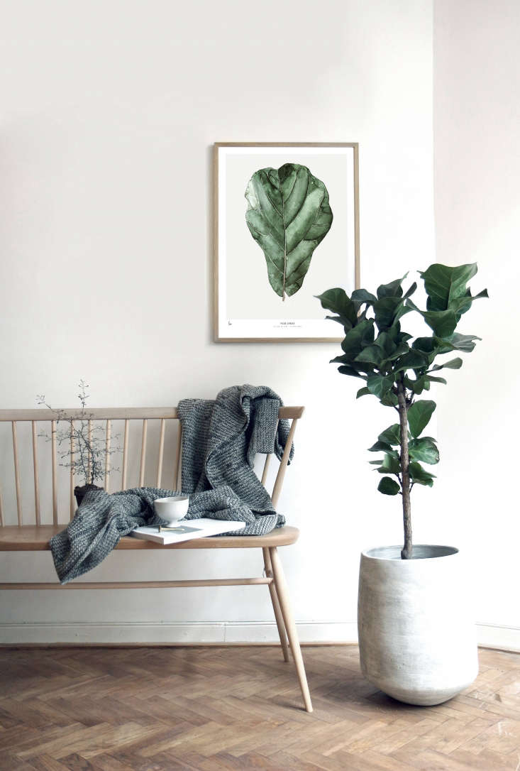 An ode to the fiddle leaf fig tree, a Ficus Lyrata is available in four sizes, ranging from 30 by 40 centimeters (loading=