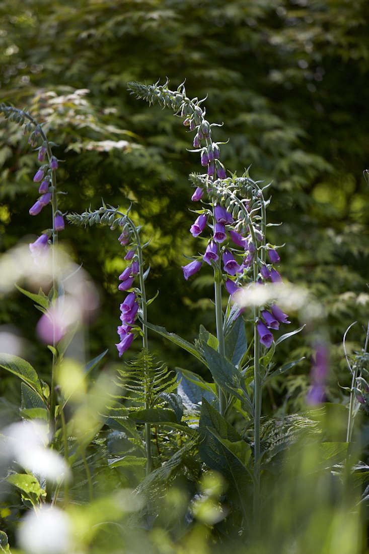 Foxgloves, the quintessential cottage garden flower. See more in  Garden Ideas to Steal from an English Woodland. Photograph by Britt Willoughby Dyer.