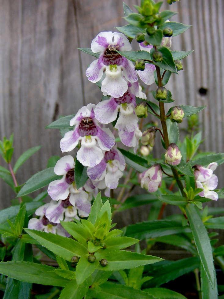 Angelonia angustifolia by Carl Lewis via Flickr.