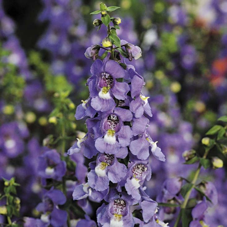 A packet of \10 Blue Serena Angelonia seeds is \$4.95 from Park Seed.
