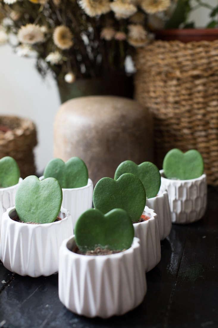 A similar heart-shaped Hoya Kerrii Succulent is \$\15 from Rare Succulents via Etsy.