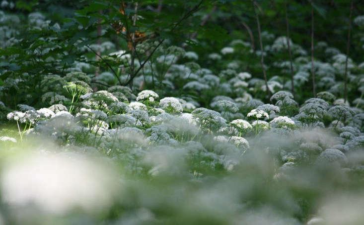 Goutweed in bloom by Marie Viljoen