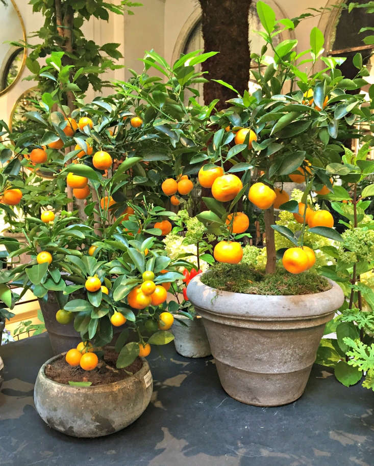 Potted citrus trees. Photograph by Clare Coulson.