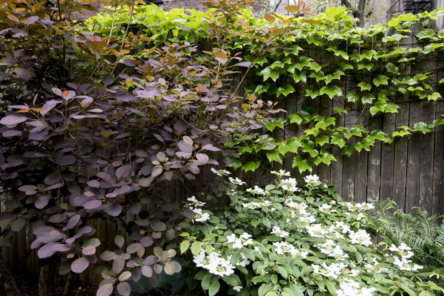 A smoke bush (at L) is a visual focal point in a backyard garden designed by Brook Landscapes.