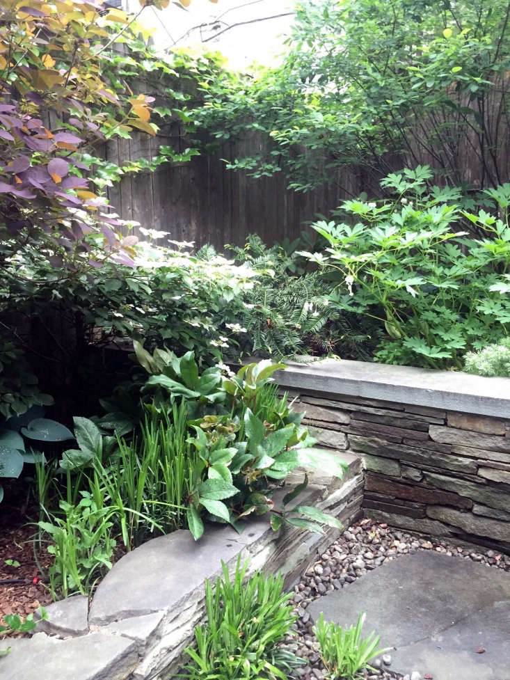 Hostas and hellebores, planted in clumps in a backyard designed by Brook.