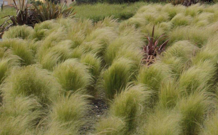 A pack of three Stipa tenuissima Mexican Feather Grass Plants is £\24.99 from Gardening Express. Photograph via Gardening Express.