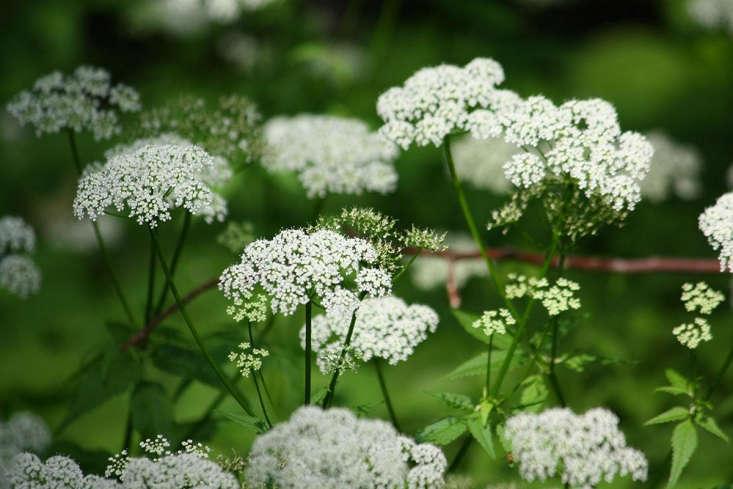Ground elder flowers in early summer by Marie Viljoen