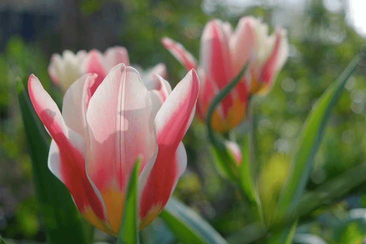DiminutiveAnalita Tulip is a new offering from Brent and Becky&#8