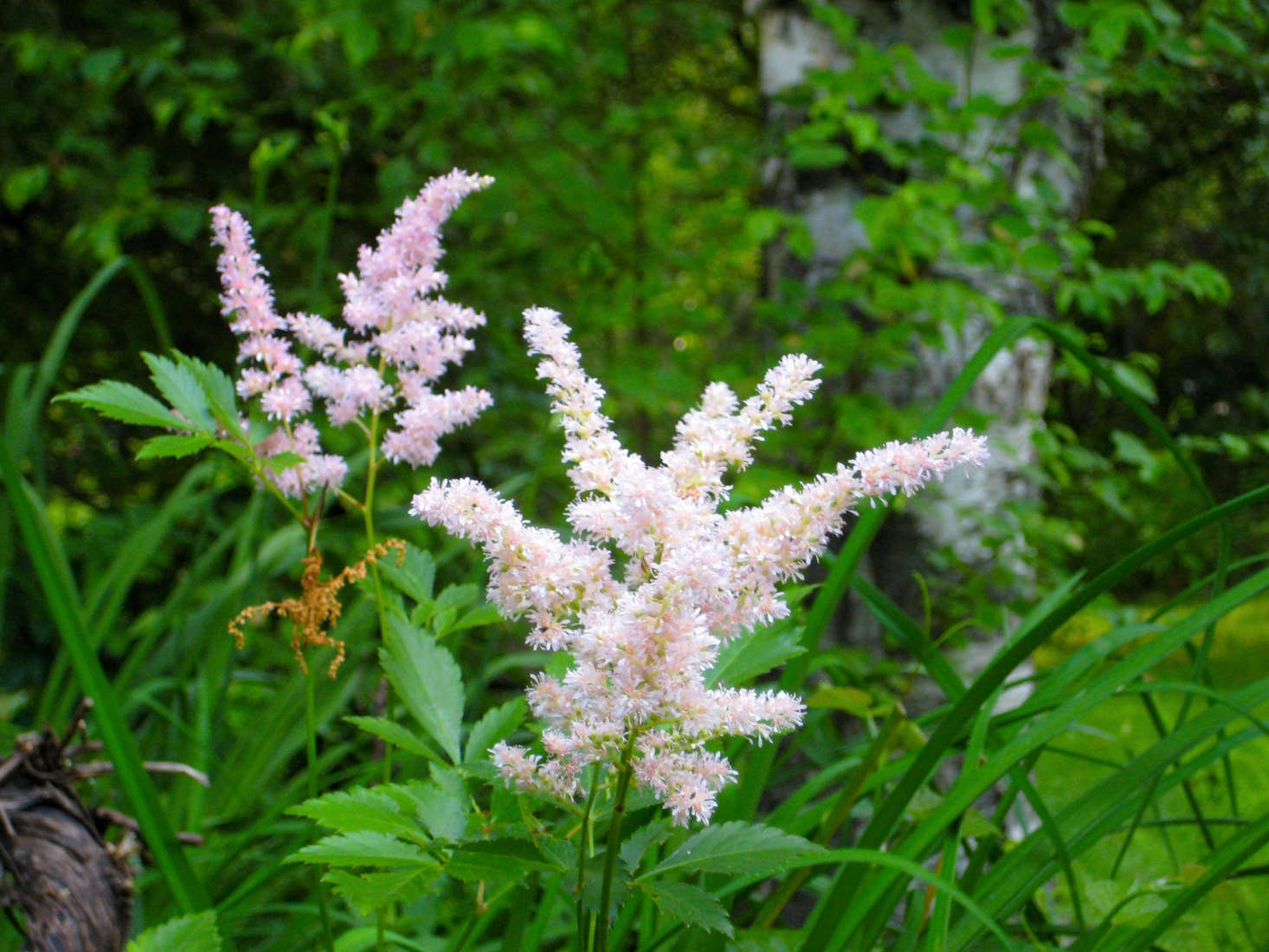 A pale pink variety of astilbe. Photograph by Bill Wren via Flickr.
