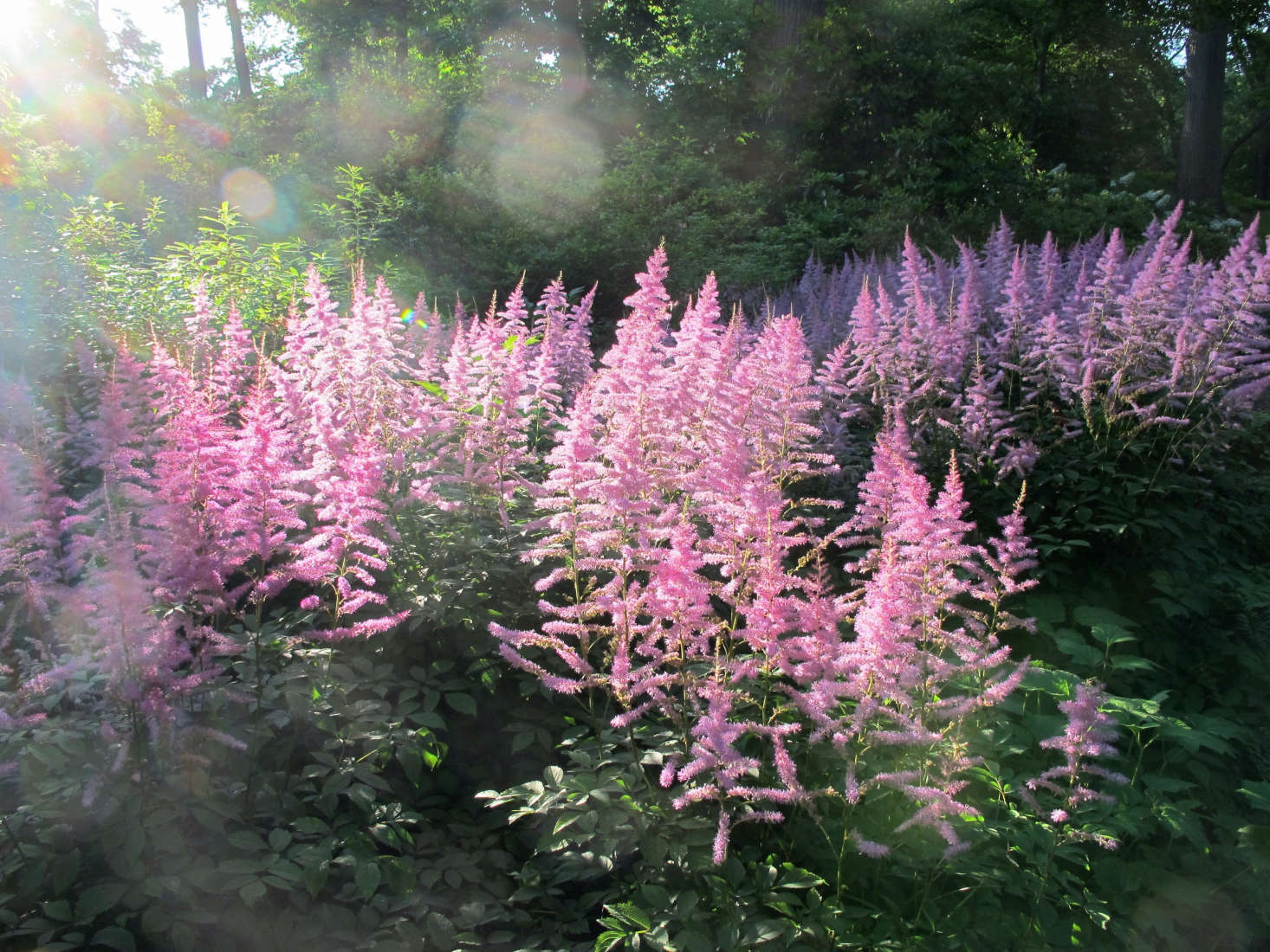 Pink astilbe lights up a corner of the New York Botanical Garden. This is the full, lush look I was hoping for in my garden. Photograph by Kristine Paulus via Flickr.