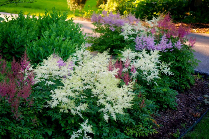 Feathery astilbe comes in many shades of pink, red, and white. Photograph by Rachel Kramer via Flickr.