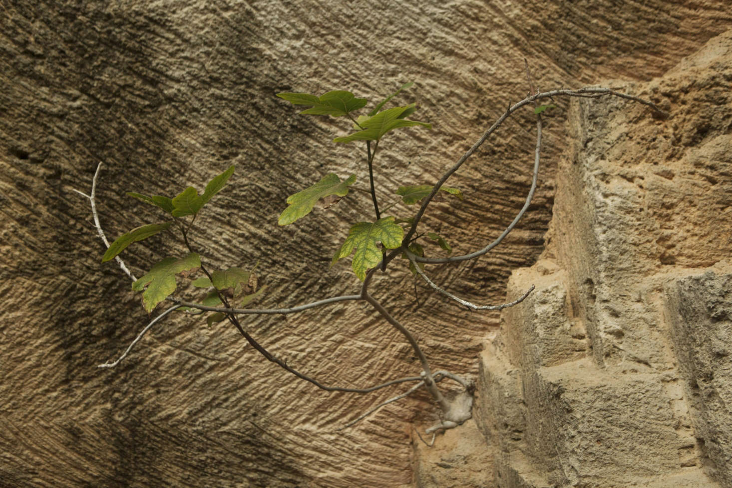 Fig growing out of a solid wall of stone, a lesson in drought gardening.